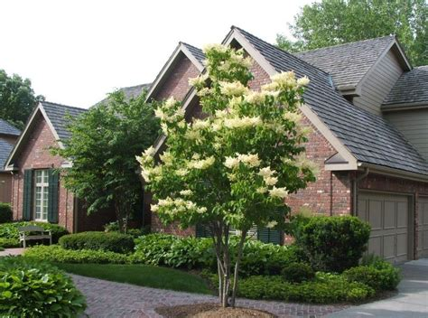 trees you can plant to house japanese tree lilac great tree for small spaces growing together with don kinzler