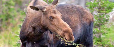 rangeley mainecom rangeley maine moose watching