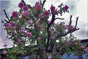 Mainzer Fastnacht Rose : unsere rosen 2 ~ Orissabook.com Haus und Dekorationen