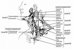 Palpating Lymph Nodes In The Head And The Neck