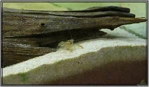 Aquarium Einrichten Anfänger : aquarien mit cambarellus texanus texas zwergflusskrebs ~ Lizthompson.info Haus und Dekorationen