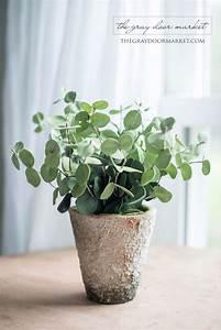 Eucalyptus En Pot : potted eucalyptus plantes et maisons ~ Melissatoandfro.com Idées de Décoration