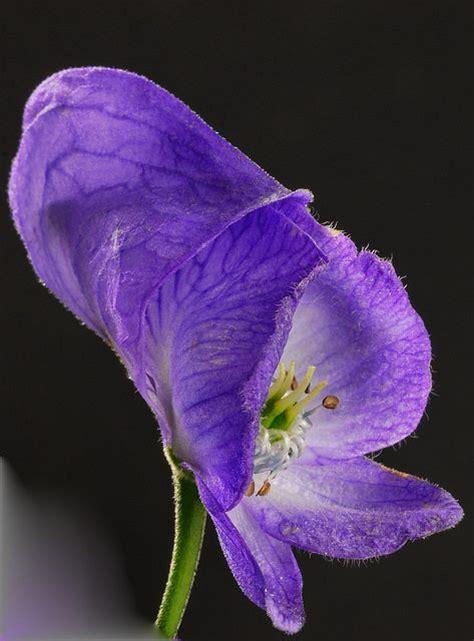 aconitum carmichaelii arendsii zonder bloem 22 beste afbeeldingen van aconitum planten wolfsbane en