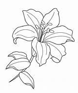 Flower Lily Drawing Line Drawings Lilies Coloring Pages Lilly Printable Flowers Sketches sketch template