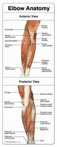 The 25  Best Elbow Anatomy Ideas On Pinterest