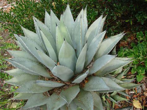 Agave deserti - Desert Agave   World of Succulents