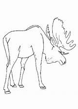 Moose Coloring Pages Animal Printable Preschool Deer Drawing Track Template Cartoon Realistic Colouring Alaska Hunting Getcoloringpages Coloringhome Coloringpages101 Getcolorings Popular sketch template