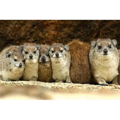 Hyrax Huddle – October 2012 @ Michael Despines Photography
