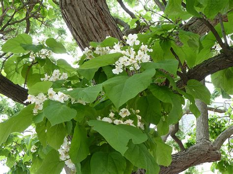 tree with big leaves and white flowers flowers and leaves on an indian bean tree in frankfurt p1 flickr photo sharing