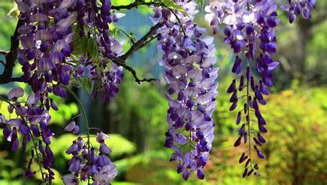 pianta glicine vaso glicine pianta perfetta per decorare giardini e balconi