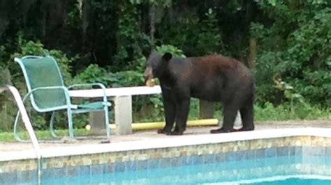 florida sprawling humans confront  bears  lived
