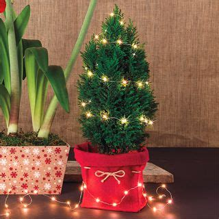 european cypress christmas tree 312 best images about gardening on window boxes fall containers and container gardening