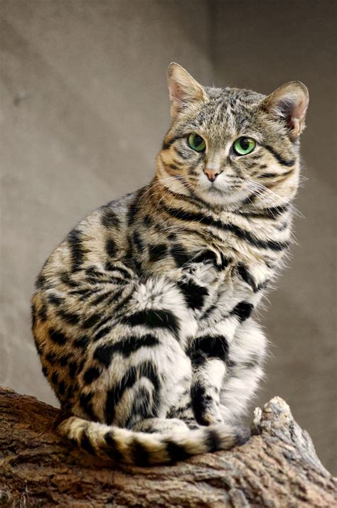cat footed related closely species endangered domestic cats nigripes african felis wild animals read kitty