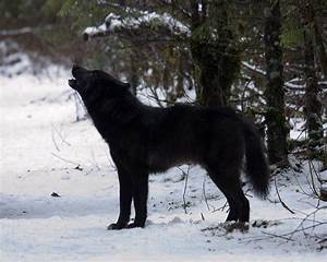 Black Wolf Howling photo - Doug Jones photos at pbase.com