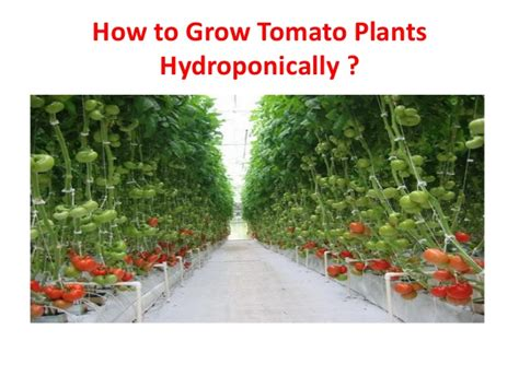 how to grow tomato at home how to grow tomato plants hydroponically