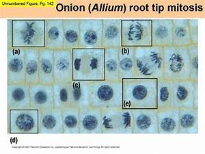 Mitosis Microphotographs