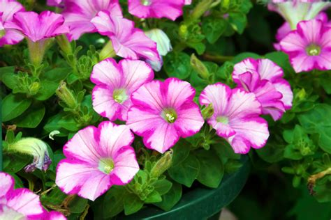 when to plant petunias petunias by the gardening blog