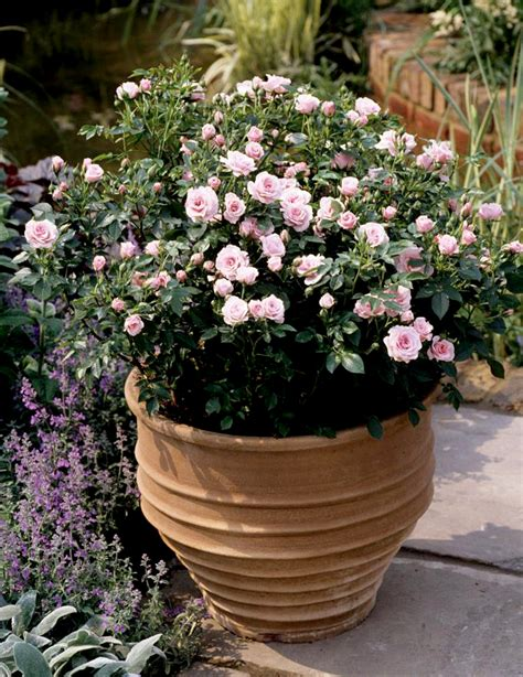 rosier nain en pot rosier nain en pot 28 images rosier nain mini rosier en pot de verrre fleur supr 234 me