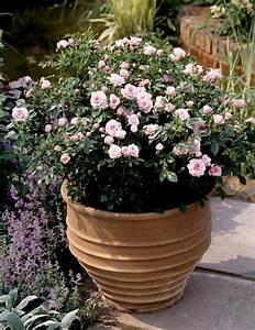 mini rosier planter et cultiver ooreka With modeles de rocailles jardin 7 achillee planter et cultiver ooreka