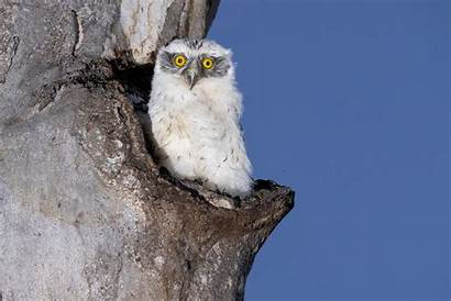 Powerful Owls Australian Reason Protect Owl Bushland