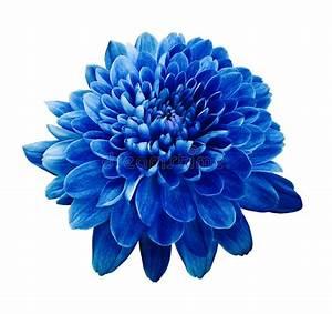 Blue Flower Chrysanthemum. Flower On White Isolated ...