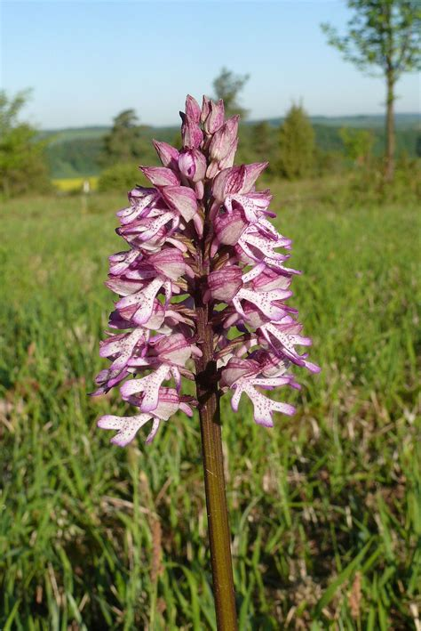 File:Orchis x hybrida 120508.jpg - Wikimedia Commons