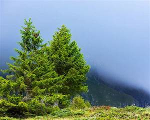 Pine, Trees, At, High, Altitude, Stock, Image