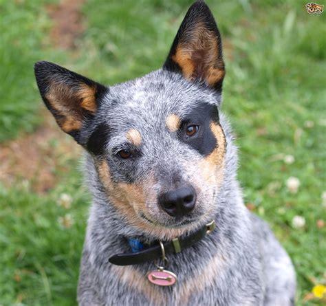 heeler  australian cattle dog traits  temperament