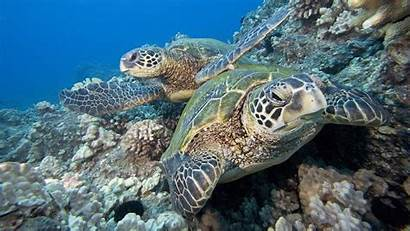 Turtle Sea Underwater Wallpapers Pair Pixelstalk