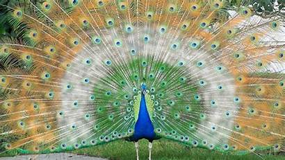 Peacock Flag Indian Feather Wallpapers Birds Walls