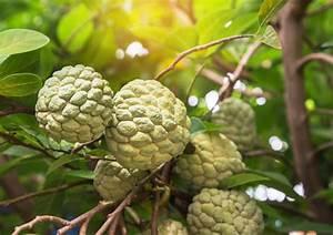 Exotische Früchte Im Eigenen Garten : exotische fr chte die kaum jemand kennt mein sch ner garten ~ Lizthompson.info Haus und Dekorationen