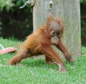 baby orangutan | Primates | Pinterest