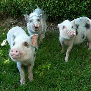 Watch These Adorable Baby Pigs Frolicking In The Sunshine