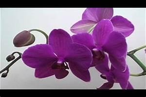 Benjamini Klebrige Blätter : video orchideen krankheiten klebrige bl tter was tun ~ Lizthompson.info Haus und Dekorationen