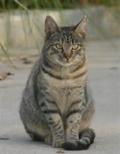 tabby cats tabby cats images tabbys wallpaper and background photos