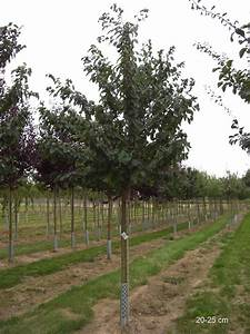 Kirschbaum Kaufen 3m : hedelfinger riesenkirsche halbstamm und hochstamm gro en kirschbaum kaufen gro en ~ Buech-reservation.com Haus und Dekorationen