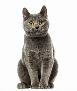 savannah cat chart chartreux cats breed information omlet