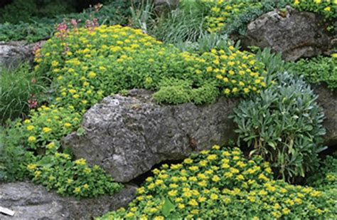 perrenial ground cover ground cover plants perennial ground covers tattoo design bild