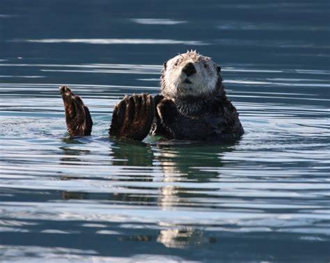 sea otter facts diet habitat pictures  animaliabio