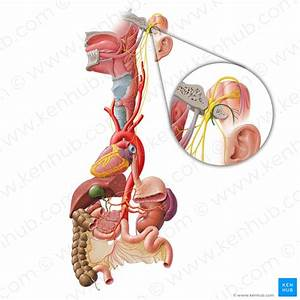 Outer Ear  Anatomy  Blood Supply  Innervation