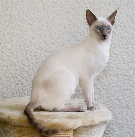 Siamese Cat  Purrfect Cat Breeds