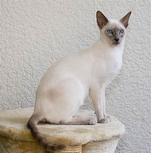 Siamese Cat – Purrfect Cat Breeds