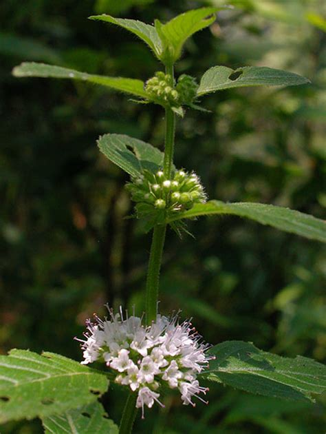 http://www.discoverlife.org/mp/20q?search=Mentha+arvensis&mobile=close