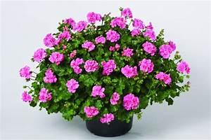Winterpflanzen Für Balkonkästen : geranie h ngend rosa gef llte pflanze im 12er topf ~ Indierocktalk.com Haus und Dekorationen