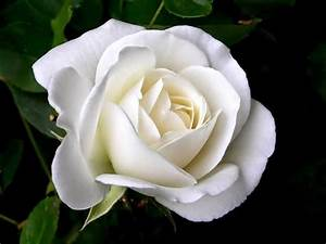 Romantic Flowers: White Rose Meaning