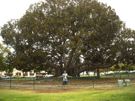 large ficus tree large ficus tree in san diego by mit19237 on deviantart 3651