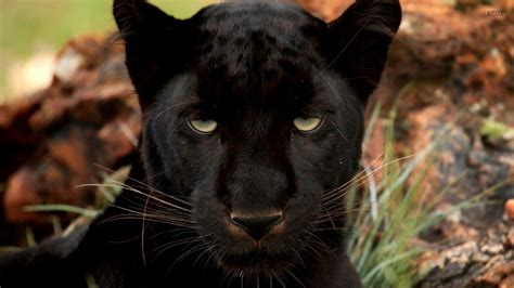 Panther Animal Wallpaper - black panther wallpapers wallpaper cave