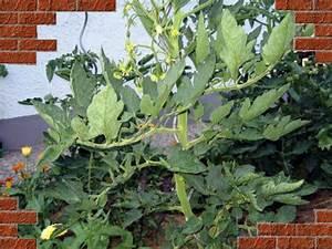 Tomatenblätter Rollen Sich Ein : tomaten tagebuch juli 2006 ~ Lizthompson.info Haus und Dekorationen