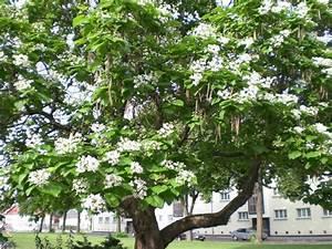 Baum Mit Langen Schoten : sch ne b ume 2 helgas garten ~ Lizthompson.info Haus und Dekorationen