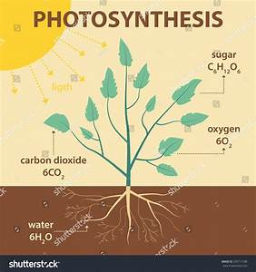 Vector Schematic Illustration Showing Photosynthesis Plant